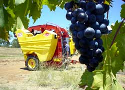 Harvesting Chambourcin at Kingsley Grove