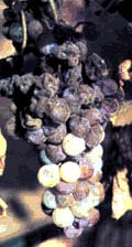 Botrytis-affected grapes