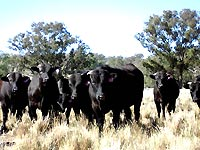 Wagyu beef cattle